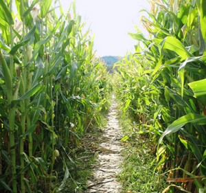 Looking down the path in a corn maze.